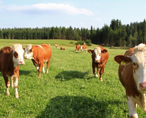 Fleckviehkalbinnen; Foto Helga Wagner