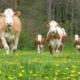 Fleckvieh - Kühe auf der Frühlingsweide im Bezirk Murau, Steiermark, Foto: ZAR/Kalcher